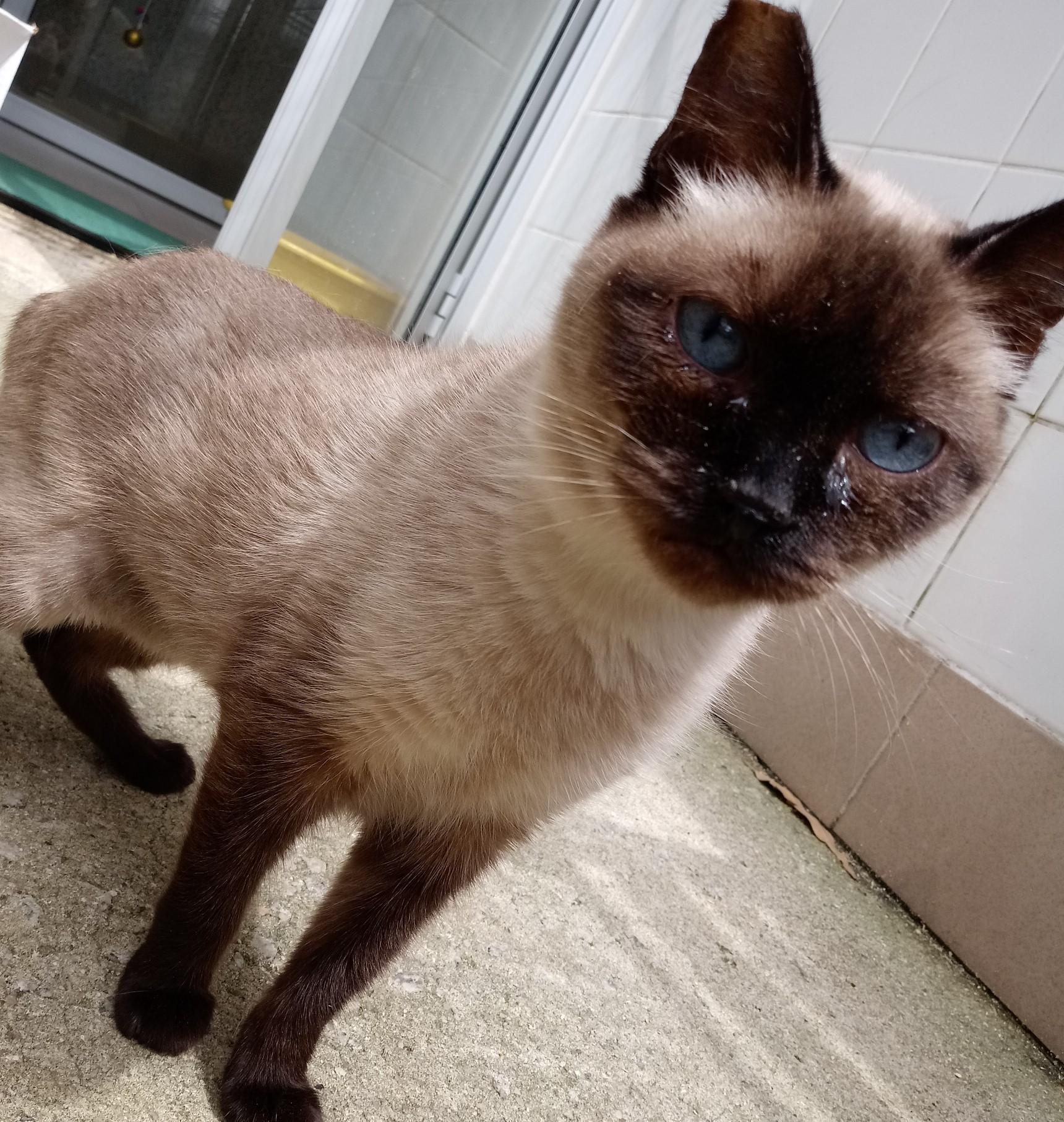 #PraCegoVer: Fotografia da gatinha Tata. Ela é marrom e tem os olhos azuis.